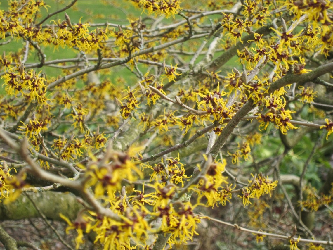 Image Result For Witch Hazel And Tea Tree Oil For Acne